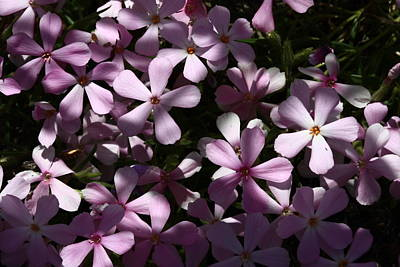 Landscape Photograph - Phlox by Gary Wing