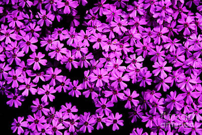 Music Royalty-Free and Rights-Managed Images - Phlox Ground Cover by Thomas R Fletcher