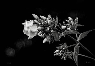 Photograph - Phlox In Black And White by Bill Linn