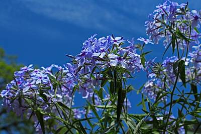 Photograph - Phlox by Michiale Schneider