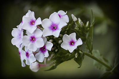 Photograph - Phlox by Patricia Montgomery