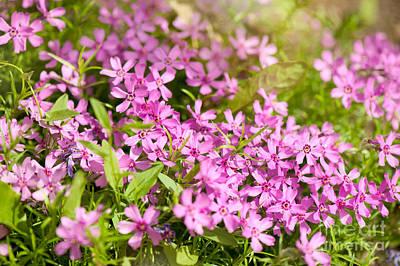 Phlox Subulata Pink Flowering Plant Art Print by Arletta Cwalina