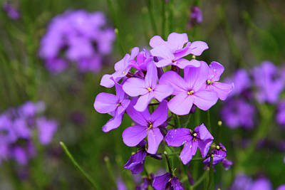 Photograph - Phlox by Whispering Peaks Photography