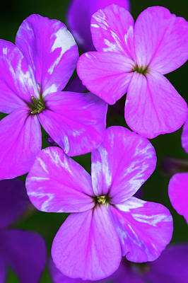 Photograph - Phlox_wildflowers_060216_0198 by Brian Snyder