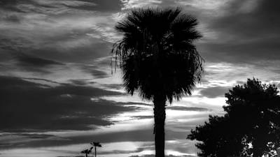 Photograph - Phoenix Palm by Robert Melvin