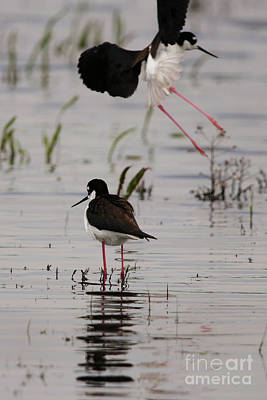 Photograph - Photobombed By A Black Necked Stilt by Alyce Taylor