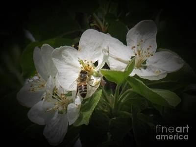 Photograph - Photograph Of A Bee In The Apple Blossoms by Delynn Addams