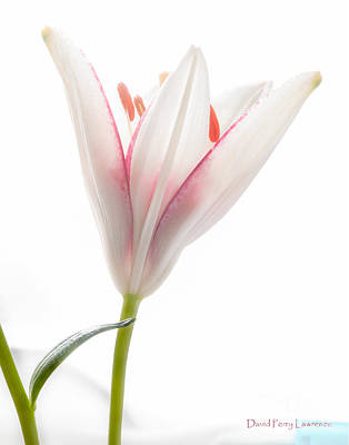 Photograph - Photograph Of A Pale Lily Opening I by David Perry Lawrence