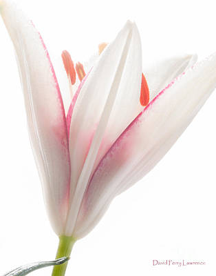 Photograph - Photograph Of A Pale Lily Opening II by David Perry Lawrence