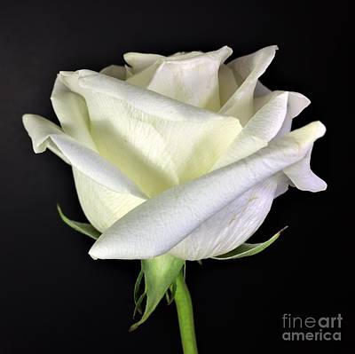 Photograph - Photograph White Rose By Delynn Addams by Delynn Addams