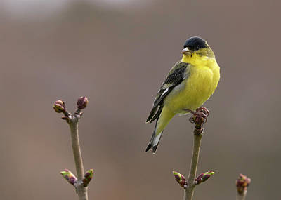 Photograph - Lesser Goldfinch by Douglas Herr