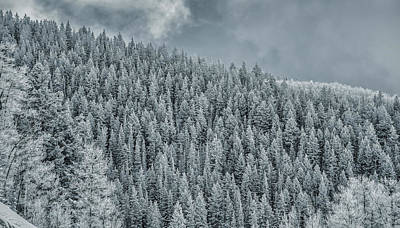 Photograph - Winter Pines by Lou Novick