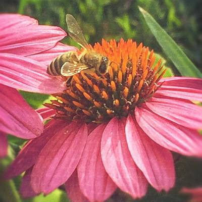 Pink Wall Art - Photograph - #photooftheday #bee #flower by Joan McCool