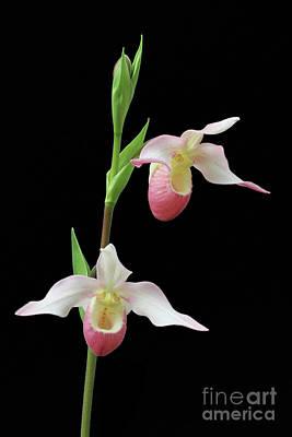 Fragrant Photograph - Phragmipedium Cardinale by Judy Whitton