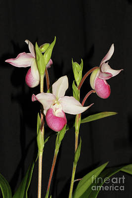Photograph - Phragmipedium Cardinale Wacousta Orchid by Judy Whitton