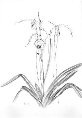 Drawing - Phragmipedium by Penrith Goff