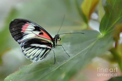 Photograph - Piano Key Butterfly by Olga Hamilton