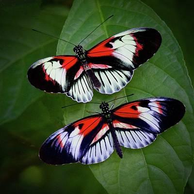Photograph - Piano Key Butterfly's by John Kearns