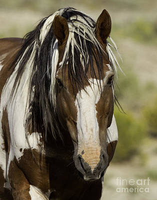 Pinto Horse Photograph - Picasso Comes Close by Carol Walker