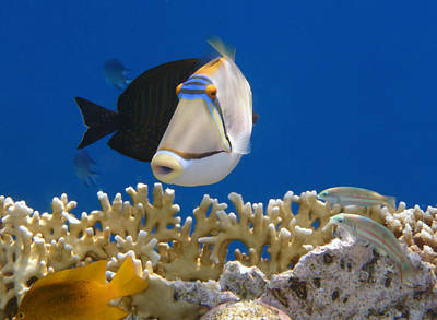 Animals Royalty-Free and Rights-Managed Images - Picasso fish and Klunzingerwrasse by Johanna Hurmerinta