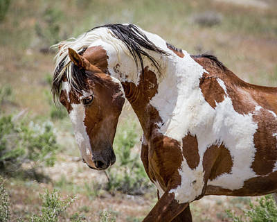 Photograph - Picasso Mustang Stallion  by Dawn Key