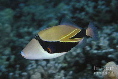 Hawaii State Fish Photograph - Picasso Triggerfish by Dave Fleetham - Printscapes
