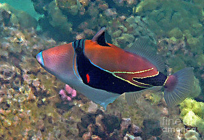 Picasso Triggerfish Up Close Art Print