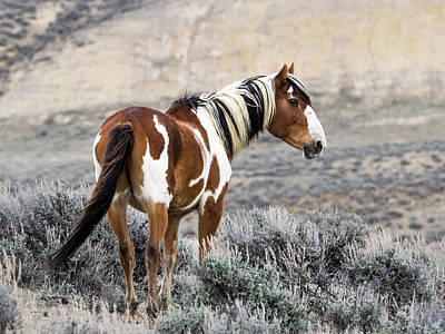 Photograph - Picasso - Wild Mustang Stallion Of Sand Wash Basin by Nadja Rider