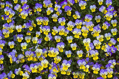 Photograph - Pick Me-pansies by Ken Barrett