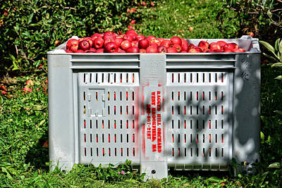 Photograph - Picked Apples by Mike Martin