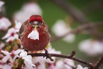 Weeping Cherry Photograph - Picked Just For You House Finch by Terry DeLuco