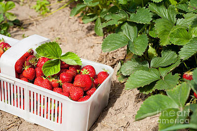 Strawberry Bunch Photograph - Picked Ripe Strawberries Bunch by Arletta Cwalina