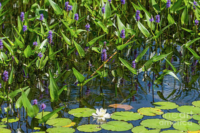 Photograph - Pickerel Weed And Water Lily by Les Palenik