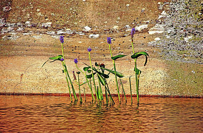 Photograph - Pickerel Weed Showcased by Debbie Oppermann