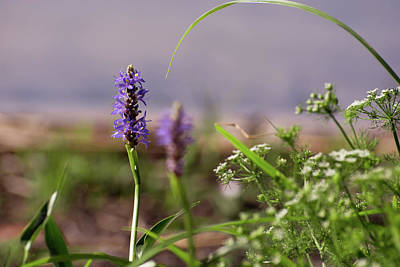 Garden Photograph -  Pickerel Weed by Zina Stromberg