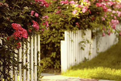 Photograph - Picket Fence Roses by Jessica Jenney