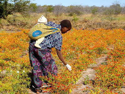 Photograph - Picking Chilli Peppers - Zimbabwe  South Africa by Karen Zuk Rosenblatt