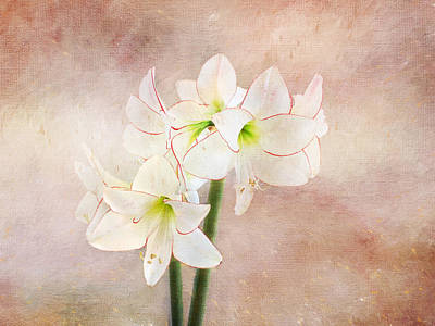 Flora Mixed Media - Picotee Amaryllis by Terry Davis