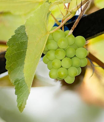 Picture Of Ripe White Grape Art Print by Lanjee Chee