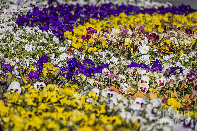 Photograph - Picture-perfect Pansies by Joann Long