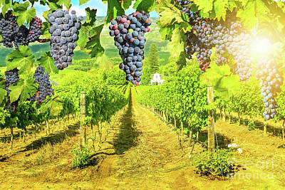 Photograph - Picturesque Vineyard At Sunset by Benny Marty