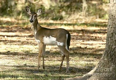 Photograph - Piebald Deer On Alert by Myrna Bradshaw
