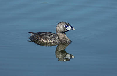 Photograph - Pied-billed Grebe 2 by Rick Mosher