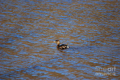 Photograph - Pied Billed Grebe 20131224_99 by Tina Hopkins
