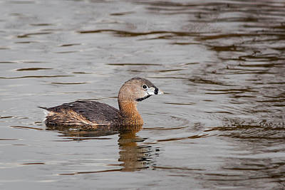 Spring Photograph - Pied-billed Grebe by Benjamin DeHaven