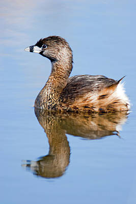 Photograph - Pied-billed Grebe by Craig Strand