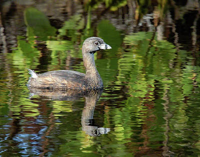 Photograph - Pied-billed Grebe by Dawn Currie