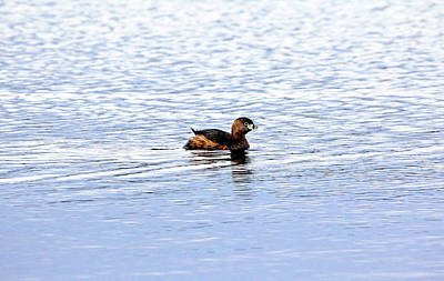 Photograph - Pied Billed Grebe by Debbie Oppermann