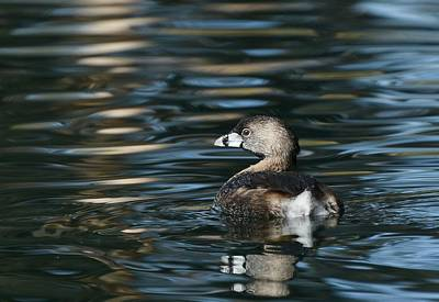 Photograph - Pied-billed Grebe by Fraida Gutovich