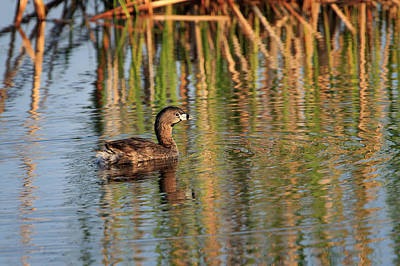 Photograph - Pied-billed Grebe by Gary Hall